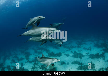 A pod of wild bottlenose dolphins swimming in the crystal clear waters of the Red Sea near Hurghada, Egypt. - Stock Photo