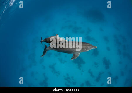 Two wild bottlenose dolphins swimming in the crystal clear waters of the Red Sea near Hurghada, Egypt. - Stock Photo