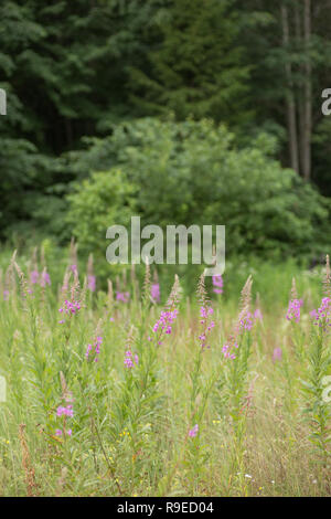 Pink flowers of fireweed in bloom ivan tea. - Stock Photo
