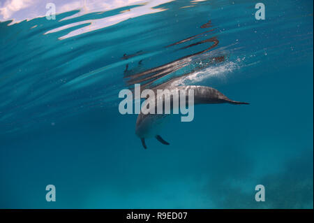A wild bottlenose dolphins swimming in the crystal clear waters of the Red Sea near Hurghada, Egypt. - Stock Photo