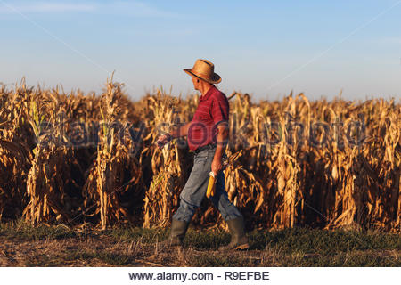 Senior farmer standing in corn field and examining crop before harvesting. - Stock Photo