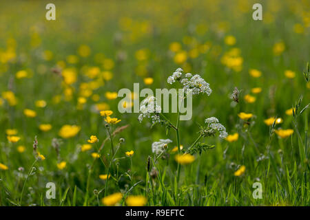 Cow Parsley; Anthriscus sylvestris Flowers with Buttercups Lancashire; UK - Stock Photo