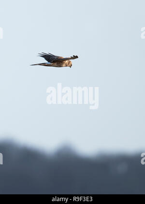 A female/ringtail Hen harrier (Circus cyaneus) glide over grasslands in Gloucestershire - Stock Photo