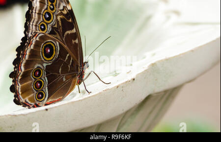 Common blue morpho butterfly (Morpho peleides) on a fountain, wings closed.  Found across Mexico and Central America.  Bright blue wings when open. - Stock Photo