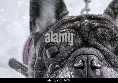 Old Pug walks in the snow with his master looking at the camera. Close-up of dog eyes. - Stock Photo