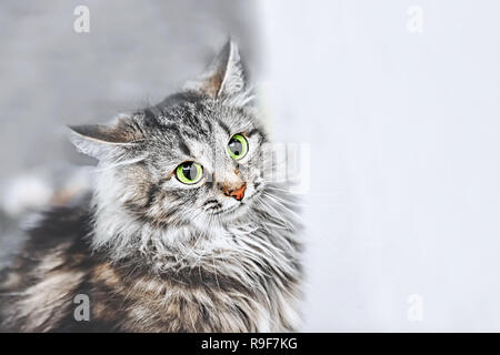 A portrait of the Russian Siberian cats. Cat attacks. Close up. Copy space. - Stock Photo