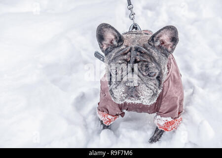 Pug walks in deep snow with his master. Old gray dog in a winter coat. Copy space. - Stock Photo