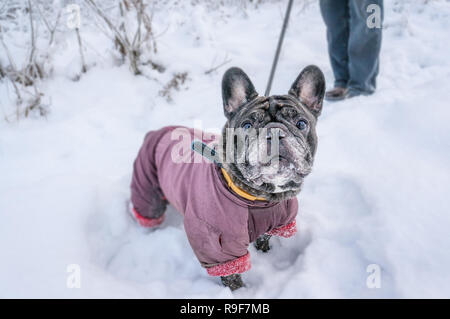 Old Pug walks in the snow with his master. Dog in a winter coat in winter. - Stock Photo