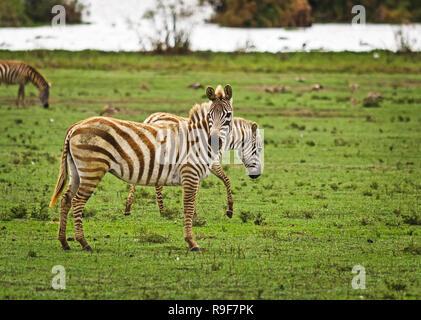 African zebra. Striped Horse in African savannas. Black and white zebra stripes. - Stock Photo