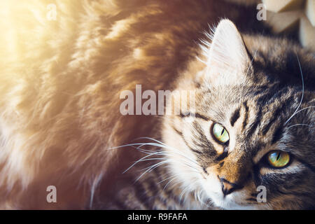 Recumbent Cat looks up. Top view. An image of a fluffy grey striped cat with yellow eyes lying on the grass and looking up. - Stock Photo