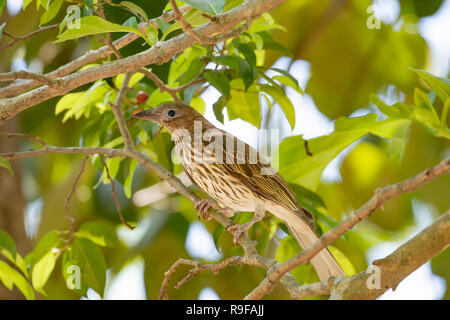 Female Yellow Figbird, Northern Race (Sphecotheres flaviventris) perched on a branch, Lake Tinaroo, Atherton Tableland,  Far North Queensland, FNQ, QL - Stock Photo