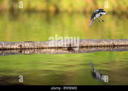 Pied Wagtail; Motacilla alba Single in Flight Cornwall; UK - Stock Photo