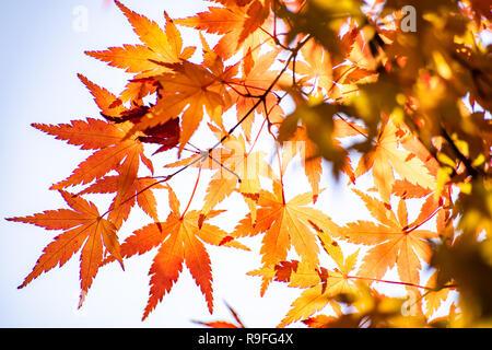 Maple tunnel in autumn of Kawaguchiko, Japan - Stock Photo