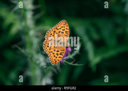 High Brown Fritillary Butterfly; Fabriciana adippe Single on Flower Cumbria; UK - Stock Photo
