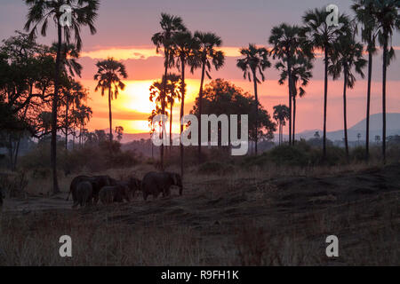 African Elephants searching for food at sunrise - Stock Photo
