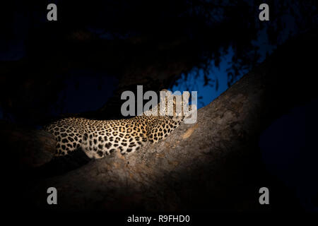 Pregnant leopard (Panthera pardus), Khwai conservancy, Botswana, - Stock Photo