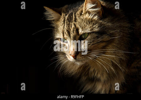 Beautiful long-haired tabby cat on a black background, as if it were emerging from the shadows - Stock Photo