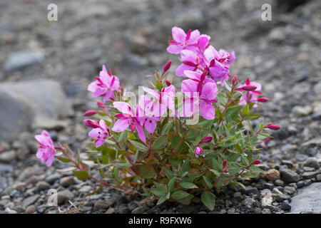 Arktisches Weidenröschen, Breitblättriges Weidenröschen, Chamaenerion latifolium, Epilobium latifolium, Chamerion latifolium, dwarf fireweed, river be - Stock Photo