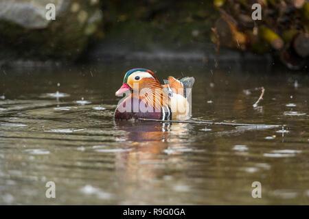 Mandarin ; Aix galericulata Single; Male Scotland; UK - Stock Photo