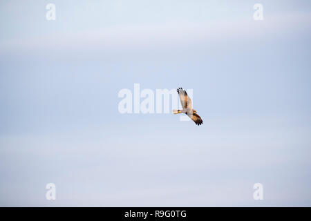 Marsh Harrier; Circus aeruginosus Single; Female in Flight Somerset; UK - Stock Photo