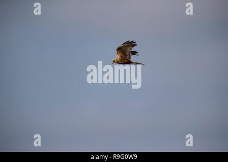 Marsh Harrier; Circus aeruginosus Single; Male in Flight Norfolk; UK - Stock Photo