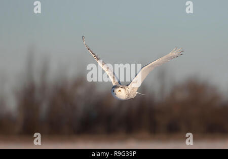 Snowy owl (Bubo scandiacus) flies low hunting over an open sunny snowy cornfield in Ottawa, Canada - Stock Photo