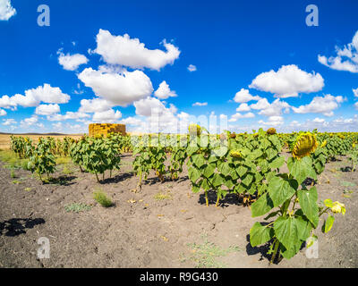 Field of sunflowers in the Sevillian countryside - Stock Photo