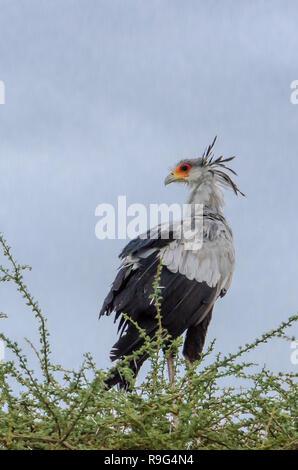 Secretarybird (Sagittarius serpentarius) perched in tree in Tanzania while displaying head feathers. Vulnerable status. - Stock Photo
