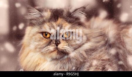 Banner Fluffy colorful Persian cat on wooden background. Beautiful home long-haired young cat - Stock Photo