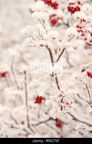 Winter, nature, plant, snowfall, frost. Red berries covered with snow. Rowan bunches on snowy tree. Ashberry in winter on natural background. Christmas or new year concept. - Stock Photo