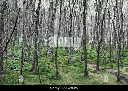 Irish birch forest at Glendalough - Stock Photo