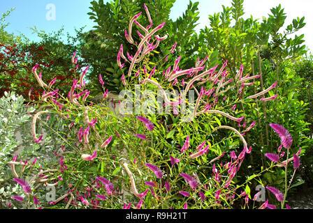 Quail Grass Latin name Celosia Argentea in Florida botanical gardens - Stock Photo