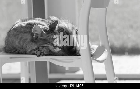 Adorable siberian cat of livestock in a garden, domestic kitten sleeping on a chair - Stock Photo