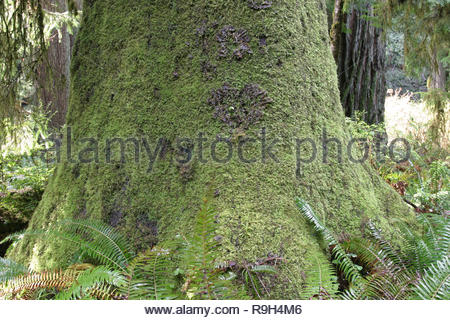 Frog pelt lichen and mosses on Sitka spruce in Prairie Creek Redwoods State Park, California, USA - Stock Photo