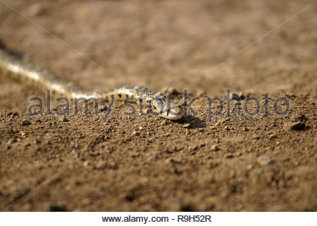 Great Basin Gopher Snake (Pituophis catenifer), Eastern Oregon, USA - Stock Photo