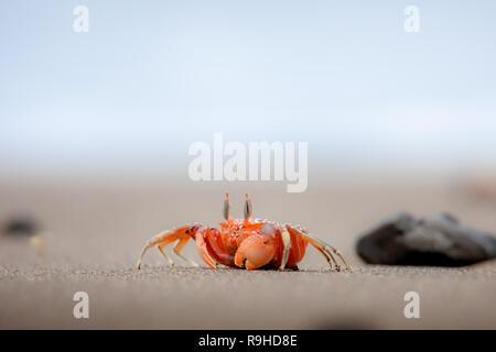 Red ghost crab cangrejo fantasma rojo Isla de la Plata Ecuador