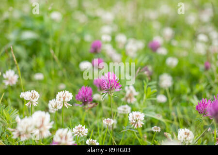 wild meadow pink clover flower in green grass in field in natural soft sunlight, Summer season,Autumn outdoor vintage photo with pastel colors and romantic atmosphere.environment day.Selective focus - Stock Photo