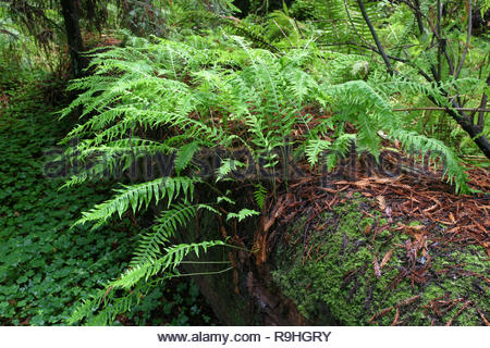 Licorice fern (Polypodium glycrrhiza) on dead tree log redwood in forest, Drury-Chaney Trail, Humboldt Redwoods State Park, California, USA - Stock Photo