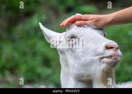 A girl petting a goat - Stock Photo