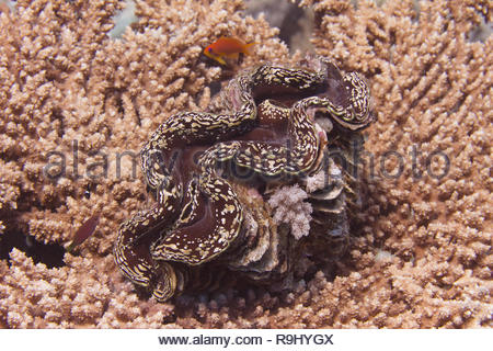 Large Clam on Table Coral on Coral Reef off Sharm el Sheikh, Egypt - Stock Photo
