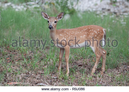 Endangered Key Deer Fawn on Big Pine Key in the Florida Keys - Stock Photo