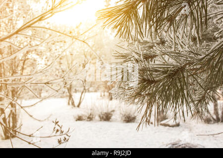 Winter pine tree sunny background. Close-up photo. Branches covered snow. Seasonally Christmass winter concept. - Stock Photo