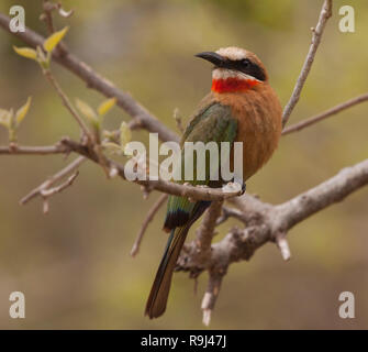 Bird: white-fronted bee-eater, perching on a branch of a tree in Kruger national park, South Africa - Stock Photo