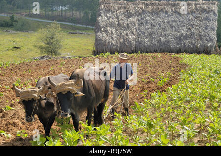 Vinales Valley,Cuba-April 04,2016: Cuban farmer ploughing field with traditional plough pulled by oxen on tobacco plantation  with at the bakground hi - Stock Photo