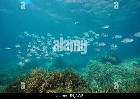 A school of fish underwater in the Mediterranean sea (two banded seabream Diplodus vulgaris), Begur, Catalonia, Costa Brava, Spain - Stock Photo