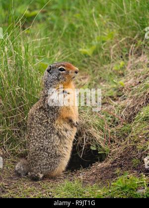 Columbian ground squirrel - Urocitellus columbianus - Spermophile de Columbia. Canadian Wildlife in  Alberta - Stock Photo