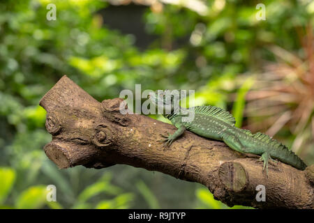 Male Plumed basilisk, Basiliscus plumifrons, also known as the green basilisk. - Stock Photo
