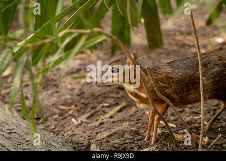 Lesser mousedeer, or mouse-deer, Tragulus kanchil standing in bushes - Stock Photo