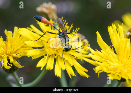 Sandwespe, Ammophila ssp., Sand Wasp - Stock Photo