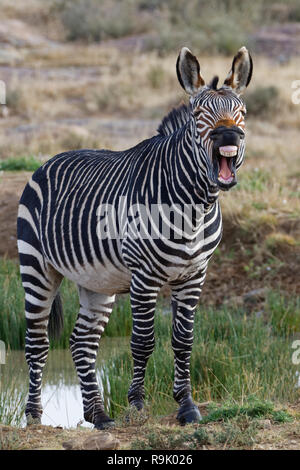 Cape mountain zebra (Equus zebra zebra), adult standing on the bank, yawning, Mountain Zebra National Park, Eastern Cape, South Africa, Africa - Stock Photo